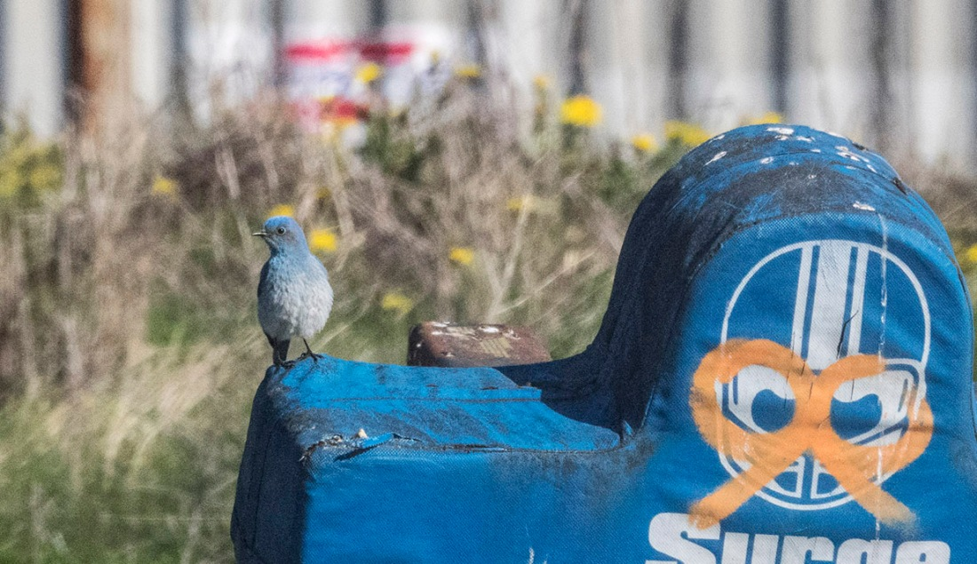 Northern Bluebird at Notre Dame