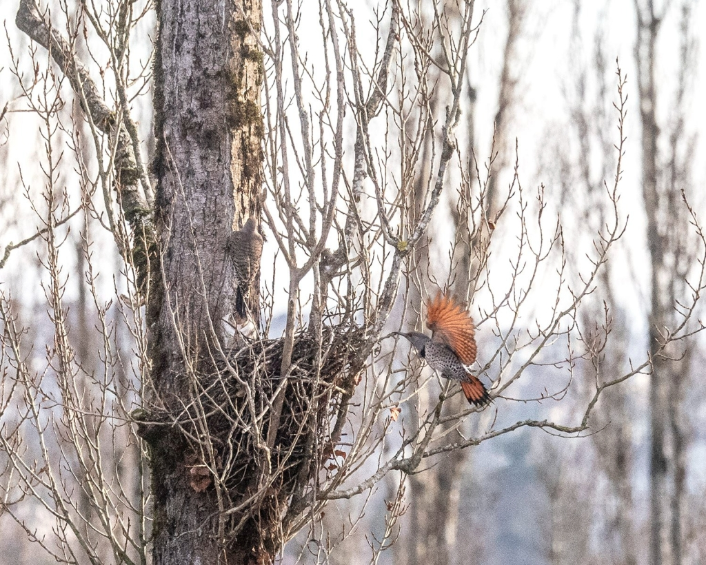 A pair of northern flickers playing in the Notre Dame poplars